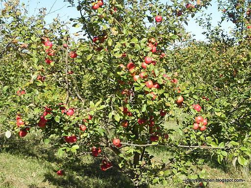 "1.75"" Haralson Apple Tree- The... 