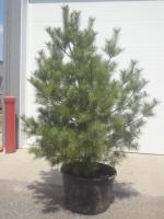 8ft Potted White Pine (File Photo)...