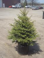 6ft Potted Black Hills Spruce (File...