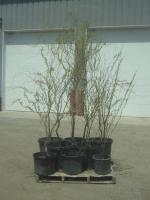 (7) Potted 4ft-8ft Corkscrew Willow...