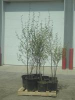 (10) Potted 4ft-6ft Paper Birch (Fi...