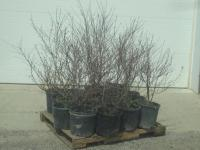 (10) Potted Cherry Red Dogwoods, 3f...